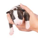 Adorable newborn puppy Royalty Free Stock Photos