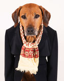 Adorable old Rhodesian Ridgeback dog in black suit Royalty Free Stock Image