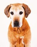 Adorable old Rhodesian Ridgeback dog royalty free stock image