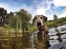 Adorable old Rhodesian Ridgeback female dog Stock Photography