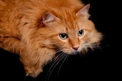 Adorable Orange Kitty cat posing for the Camera Royalty Free Stock Image