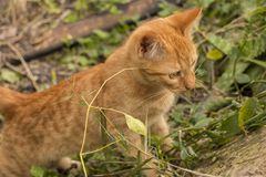 Adorable orange tabby kitten watching intently a leaf. An adorable orange tabby kitten entertains looking attentively at a leaf of a plant Royalty Free Stock Photo