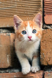 Adorable orange-white kitten with blue eyes. Staring at sometihng Royalty Free Stock Image