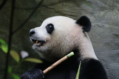 Male Giant Panda is eating Bamboo Leaves,Chongqing,China Royalty Free Stock Photography