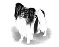 Adorable Papillon Dog Drawing Stock Photos