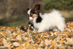 Adorable papillon puppies playing together Stock Images