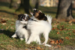 Adorable papillon puppies playing together Royalty Free Stock Image