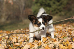 Adorable papillon puppy playing with a stick Stock Photo