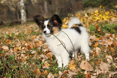Adorable papillon puppy playing with a stick Stock Images