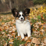 Adorable papillon puppy playing with a stick Stock Photos