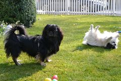 Adorable Pekinese couple, white and black, short and long hair breed playing together in garden, Pekingese dog puppy stock photography
