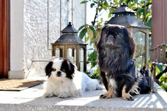 Adorable Pekinese couple, white and black, short and long hair breed playing together in garden, Pekingese dog puppy royalty free stock image