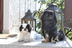 Adorable Pekinese couple, white and black, short and long hair breed playing together in garden, Pekingese dog puppy stock photos
