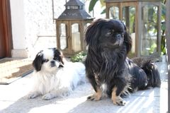 Adorable Pekinese couple, white and black, short and long hair breed playing together in garden, Pekingese dog puppy stock image