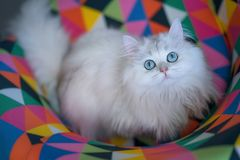 Adorable Persian breed white long haired cat stock images