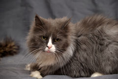 Adorable Persian cat Royalty Free Stock Photography