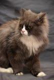 Adorable Persian cat Stock Photos