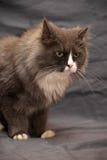 Adorable Persian cat Royalty Free Stock Photo