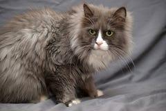 Adorable Persian cat Stock Images