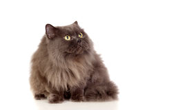 Adorable Persian cat looking up Royalty Free Stock Photos