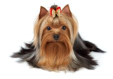Adorable pet. With bow over white. Yorkshire Terrier Stock Photo