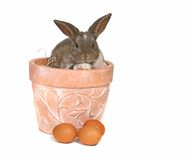 Adorable Pet Grey Rabbit With Eggs in a Pot Stock Photography