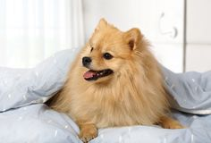 Adorable pet at home Royalty Free Stock Photos