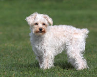 Adorable Pet Lap Dog. Adorable white lap dog with stubby tail standing on green lawn Stock Image