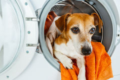 Adorable pet looking from washing machine. Laundry and dry cleaning pet service.  Funny ad for your business Royalty Free Stock Photo