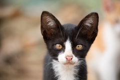 Adorable photo of black and white young cat. Royalty Free Stock Image