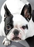 Adorable Pied Female French Bulldog Royalty Free Stock Image