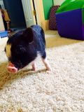 Adorable pig. The cutest pig in the world  porky Royalty Free Stock Photo