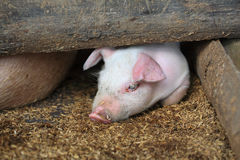Adorable piglet lying Stock Photo