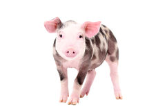 Adorable piglet. Standing isolated on white background Stock Image