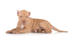 Adorable pit bull puppy Stock Photo