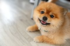 Adorable pomeranian dog smiling looking at camera showing tongue and laid down on wooden floor with natural sunlight and copy spac. E. Cute pet toy or baby dog stock images