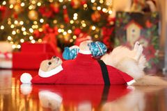 Pomeranian santa. Adorable Pomeranian dressed up as santa lying on the floor on Christmas day Royalty Free Stock Photo