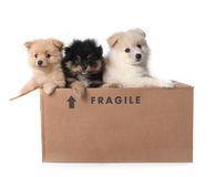 Adorable Pomeranian Puppies in a Cardboard Box Royalty Free Stock Photos