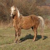 Adorable pony in autumn Royalty Free Stock Photo