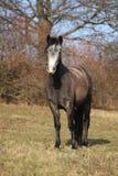 Adorable pony in autumn Stock Image