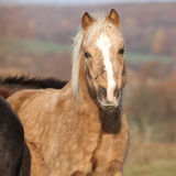 Adorable pony in autumn Stock Images