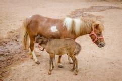 Adorable pony portrait in farm Stock Image
