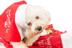 Adorable poodle dog in santa costume posing with Christmas ornam. Ents Stock Photography