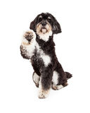 Adorable Poodle Mix Breed Dog Extending Paw Royalty Free Stock Images
