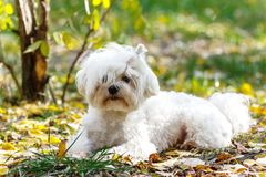 An adorable portrait of a havanese maltese puppy lying down on g. Reen grass in a vibrant summer backyard setting Stock Images