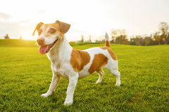 Adorable portrait of small Jack russell terrier. In full leight standing on natural green background.  series of photos Stock Image