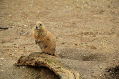 Adorable Prairie Dog standing on wood stump Stock Photos