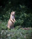 Adorable prairie dog stands Stock Photo