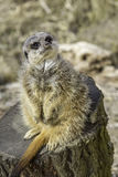 Adorable pregnant meerkat Stock Photos