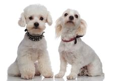 Adorable proud bichon couple wearing cute collars Royalty Free Stock Images